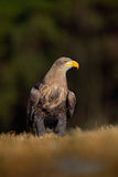 White-tailed Eagle, Haliaeetus albicilla, sitting on the meadow with nice sun light, big bird of prey, France Stock Photography