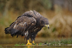 White-tailed Eagle, Haliaeetus albicilla, sitting in the water, with brown grass in background. Sweden Stock Photography