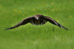 The white tailed eagle in flight. The white-tailed eagle Haliaeetus albicilla is a very large eagle widely distributed across Eurasia. As are all eagles, it is a