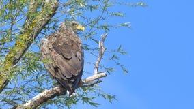 White Tailed Eagle & x28;Haliaeetus albicilla& x29;. On a tree Royalty Free Stock Images