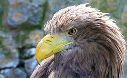 White-tailed Eagle Royalty Free Stock Image