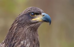 White-tailed eagle head portrait from very shrt distance stock image