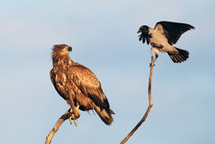 White-tailed Eagle and Hooded Crow. The picture was taken in Hungary Royalty Free Stock Photo