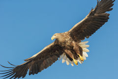 White-tailed Eagle Royalty Free Stock Photos