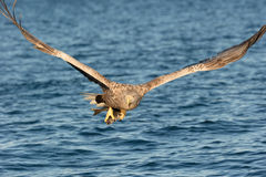 White-tailed Eagle Royalty Free Stock Image