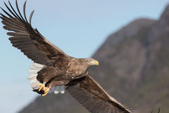 White-tailed Eagle Stock Photography
