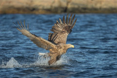 White-tailed Eagle Hunting Royalty Free Stock Photo