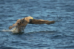 White-tailed Eagle Hunting Royalty Free Stock Images