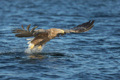White-tailed Eagle Hunting Stock Photography