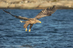 White-tailed Eagle Hunting Royalty Free Stock Photos