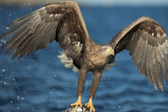 White-tailed Eagle Hunting Stock Image