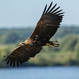 White-tailed Eagle royalty free stock photo