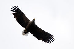 White Tailed Eagle Isolated On White Stock Photos