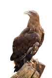 White-tailed eagle. Isolated over white Royalty Free Stock Photo