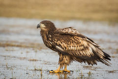 White tailed eagle, just sitting on ice Stock Photo