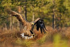 White-tailed eagle landing Royalty Free Stock Photos