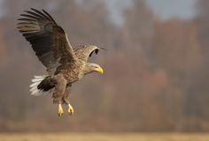 White tailed eagle landing gear down Royalty Free Stock Photo