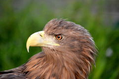 White-tailed eagle Stock Photos