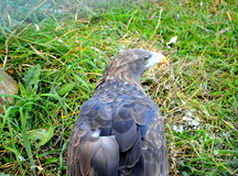 White-tailed eagle. A large bird of prey of the family accipitridae, body length, which can reach one meter and weighs from three to seven pounds. Females grow Stock Photos