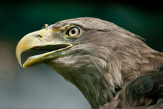White-tailed Eagle (lat. Haliaeetus albicilla) Royalty Free Stock Images