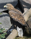 White-tailed eagle 4 Royalty Free Stock Image