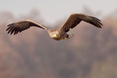 White-tailed eagle looks to the left Royalty Free Stock Photo