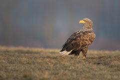 White-tailed eagle morning Stock Image