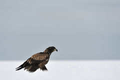 White-tailed eagle moving Royalty Free Stock Image