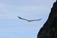 White-tailed eagle near rocks stock images