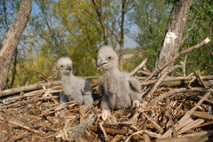 White-tailed eagle in the nest. Two young eagles in the nest with prey Royalty Free Stock Images