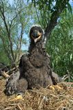 White-tailed eagle. In the nest Stock Photography