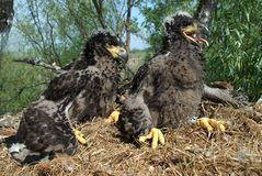 White-tailed eagle. In the nest Royalty Free Stock Photo