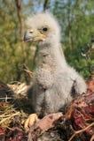 White-tailed eagle Stock Photos