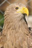 White-tailed eagle Royalty Free Stock Photos