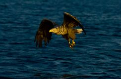 White tailed eagle in Norway stock photos