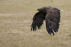 White-tailed eagle over the meadow Royalty Free Stock Photo