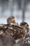 White-tailed eagle peeking out from behind of other eagle Royalty Free Stock Images