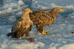 White-tailed Eagle, Zeearend, Haliaeetus albicilla. White-tailed Eagle perched on ice; Zeearend zittend op ijs royalty free stock photo