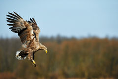 White-tailed eagle Stock Images