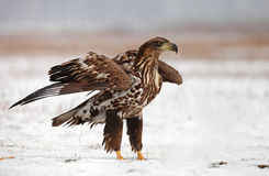 White-tailed Eagle. The picture was taken in Hungary Royalty Free Stock Photos