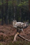 White-tailed eagle pooing Stock Image