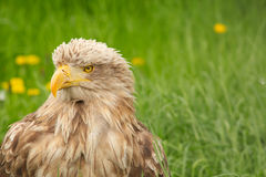 White tailed eagle portrait Royalty Free Stock Photography