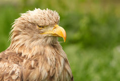 White tailed eagle portrait Stock Photos