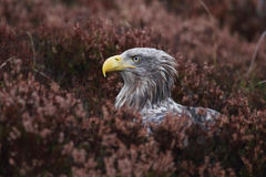 White-tailed eagle portrait Stock Photos