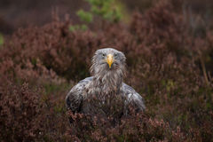 White-tailed eagle portrait Royalty Free Stock Photo