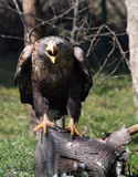 White tailed eagle screaming Stock Images