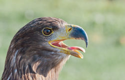 White-tailed Eagle shows its tongue Royalty Free Stock Photos
