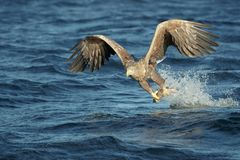 Hunting Eagle with Catch. A White-tailed Eagle snatches a fish from the sea with a well timed grasp of its talons Stock Images