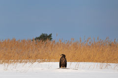 White-tailed eagle in snow Stock Photo