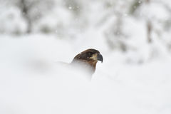 White tailed eagle on snow. At snowfall Royalty Free Stock Photography